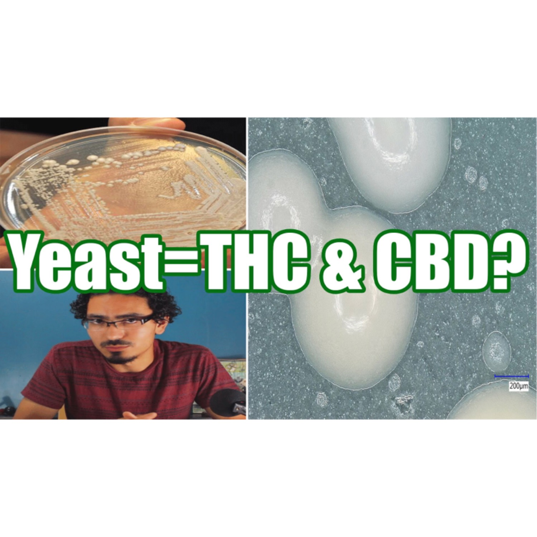 Can Yeast Make THC & CBD CannaVice TV