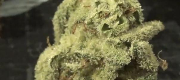 CT Weed Reviews Colorado FLO