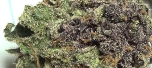 CT Weed Reviews Cold Creek Kush
