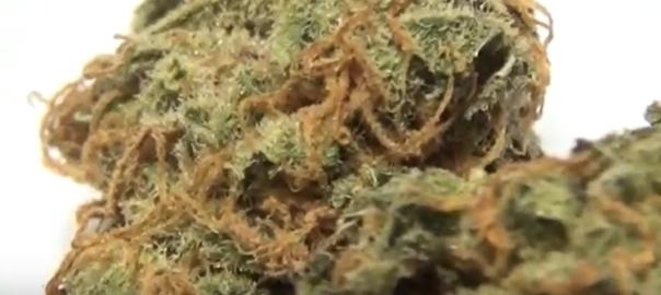 CT Weed Reviews Tangerine Haze x Tahoe Alien
