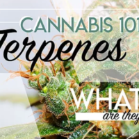 15 Cannabis Terpenes Explained (Complete Visual Guide)