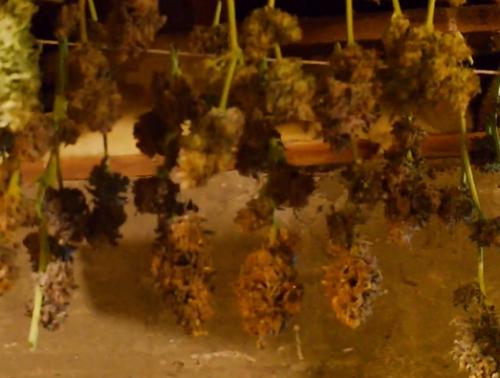 Indoor Tokers Scenes from a Grow Room!
